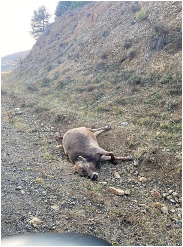Livestock killed as a result of white phosphorus incendiary attacks by Azerbaijan on Armenian controlled Nagorno-Karabakh